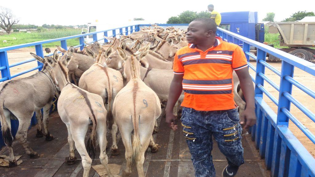 Les ânes embarqués pour être envoyés au marché