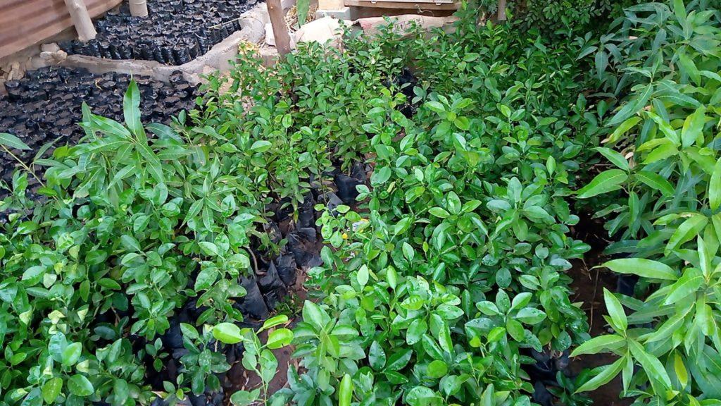 Les plants des fruitiers